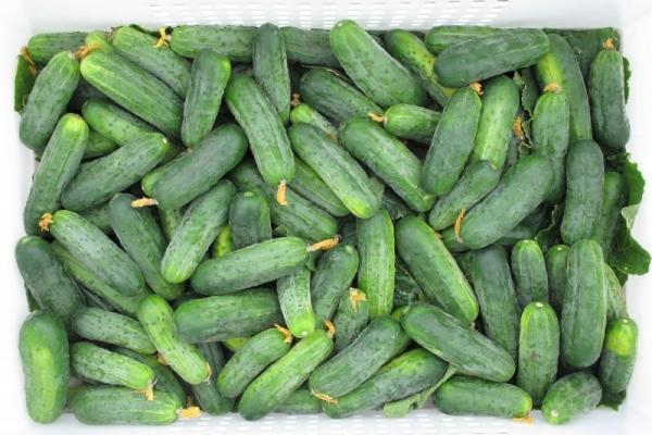 Гектор F1 – сверхранний кустовой сорт с обильным плодоношением, не нуждается в прищипывании