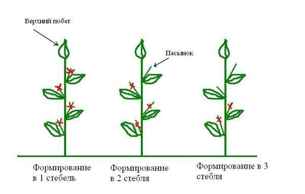 Перец Клаудио можно формировать как в два, так и в три стебля, оставляя пару наиболее мощных и хорошо развитых пасынков
