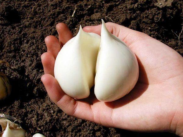 Как вырастить чеснок на даче.Перед началом выращивания чеснока необходимо определиться с его сортом