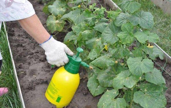 Чтобы получить второй урожай можно воспользоваться внекорневыми подкормками