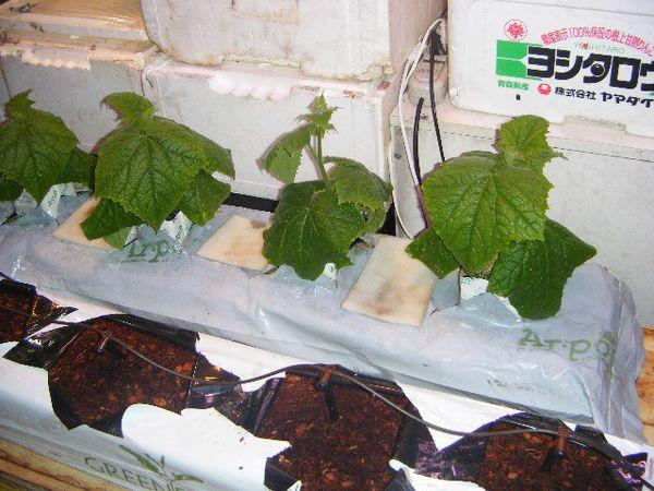 Гидропоника своими руками для огурцов и помидор