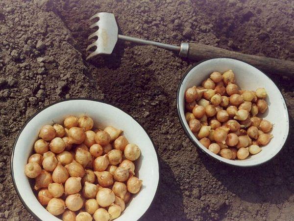 Одинцовец - один из подходящих сортов лука для выращивания на головку
