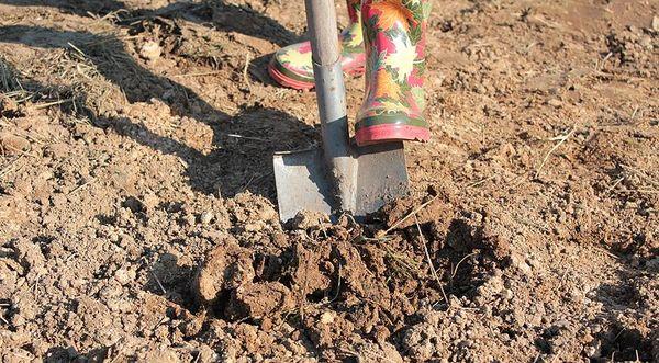 Для профилактики болезней грунт необходимо перекопать на штык лопаты