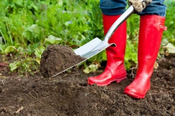 С осени нужно убрать участок от сорных и прошлогодних растений и удобрить его органикой