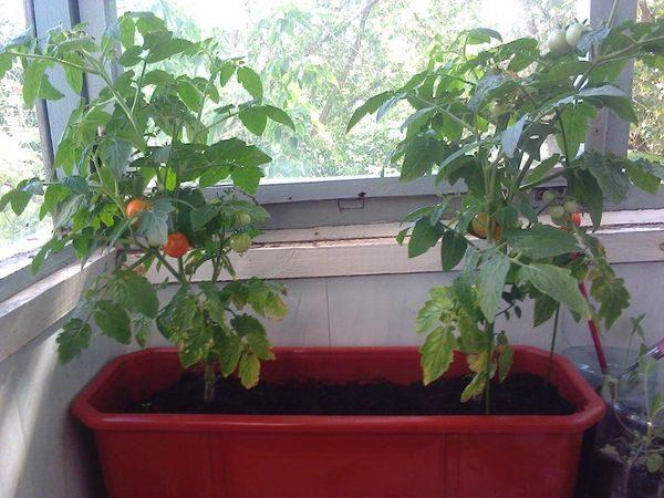горшок томаты