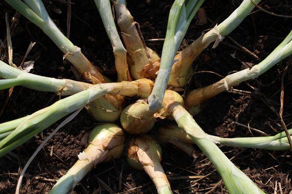 Из одной луковицы сорта Аристократический формируется 6-12 новых