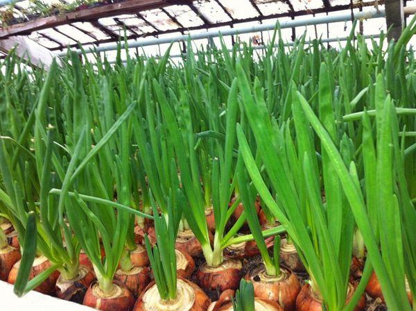 В промышленных масштабах лук на зелень выращивают в теплицах