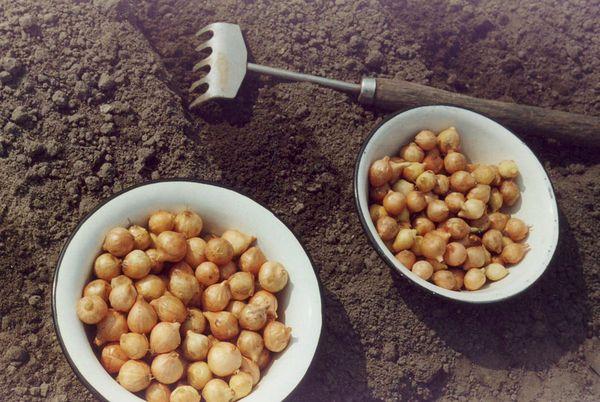 Для выращивания лука на перо лучше всего выбрать луковицы 2-4 см в диаметре