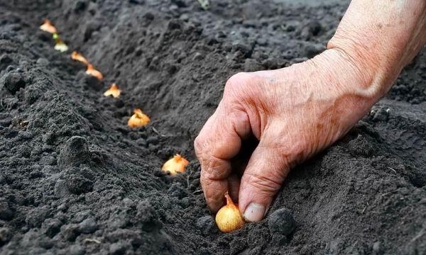 Ленточный способ посадки лука