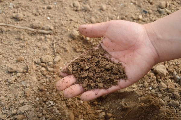 Почва нужна плодородная, водо- и воздухопроницаемая