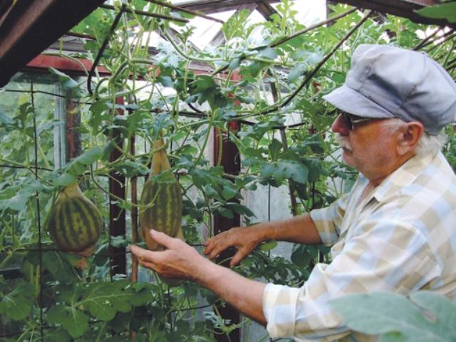Выращивание дыни в сибири в теплице 78