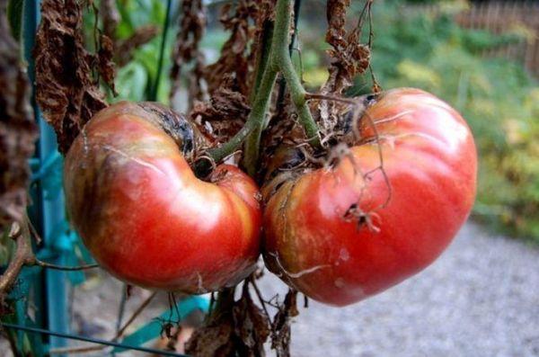 Йод способен вылечить томаты от фитофторы