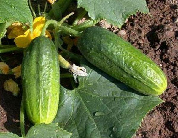 Длина плодов Изящного около 13 см, вес до 120 грамм