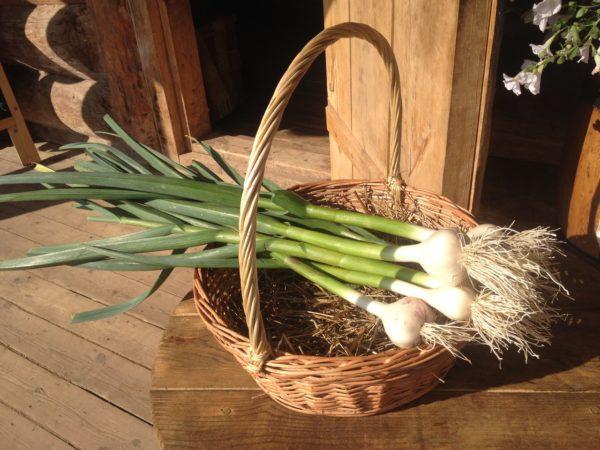 Собранный в корзину урожай молодого чеснока