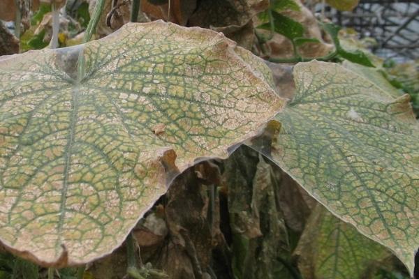 Паутинный клещ на листьях огурца