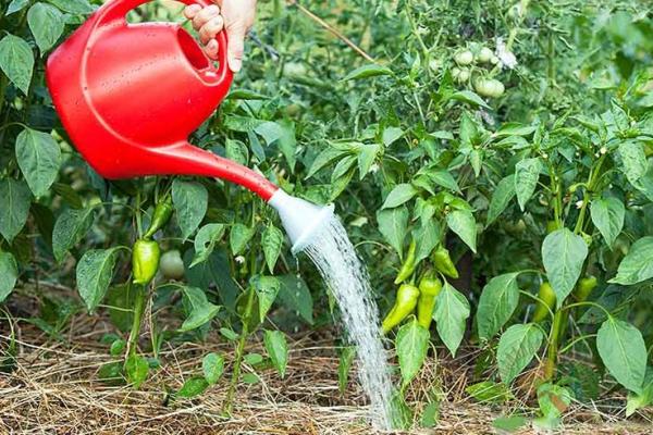 Поливать перец через 5 дней после высадки в открытый грунт, за 10 дней до и сразу после сбора урожая