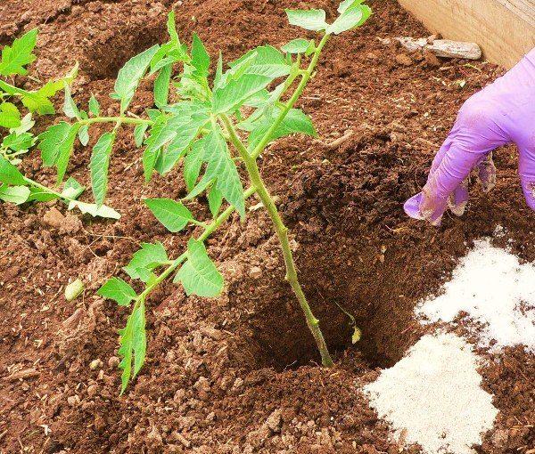 Для увеличения скорости приживаемости рассады и ее роста в лунке перед посадкой молодых растений, нужно внести удобрения