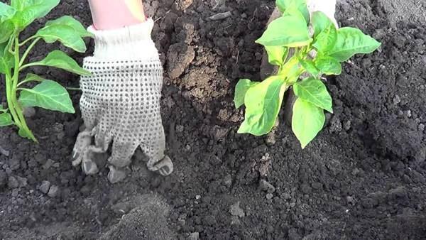 Лучше немного позже высадить рассаду перца, когда угроза заморозков миновала, чем поторопиться и погубить весь будущий урожай