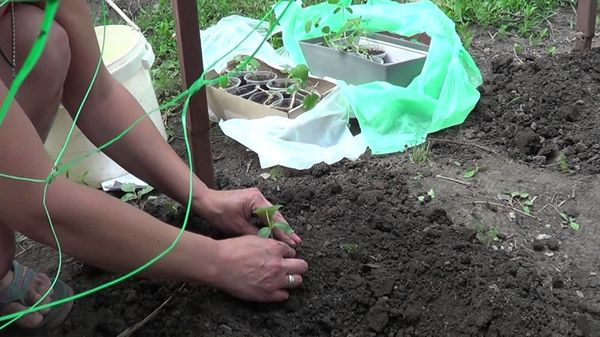 Либелле любит влажную почву, солнце и тепло
