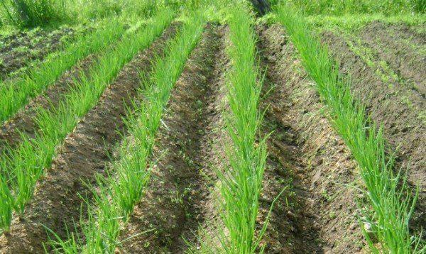 Семейный лук хорошо развивается на легких рассыпчатых почвах с однородной структурой