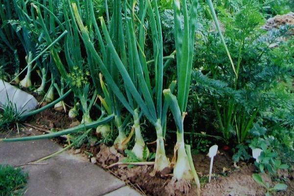 Морковка, выращенная вместе с луком, вырастает крупнее и сочнее, не препятствует созреванию луковиц