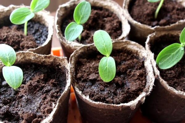 Для рассады семена сеют в середине или конце апреля, лучше в торфяные стаканчики