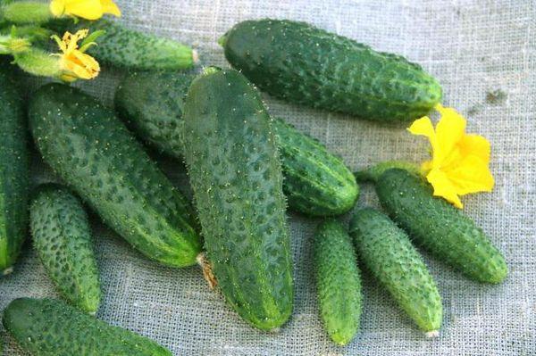 Средний вес плодов составляет 85-100 гр