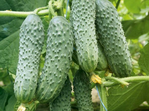 Сбор урожая можно производить в течение всего периода плодоношения