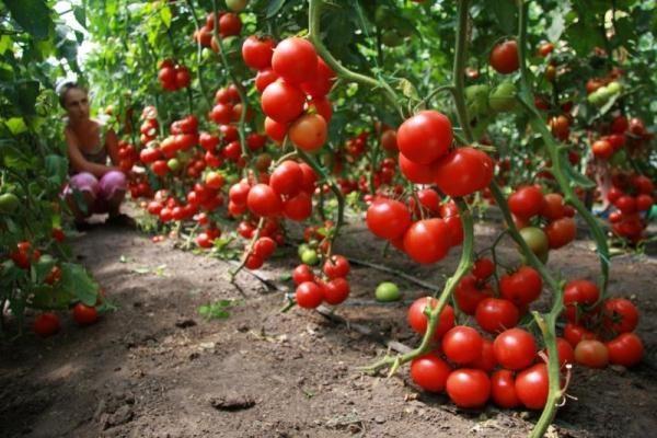При правильном уходе за кустами томата Благовест можно получить высокий урожай