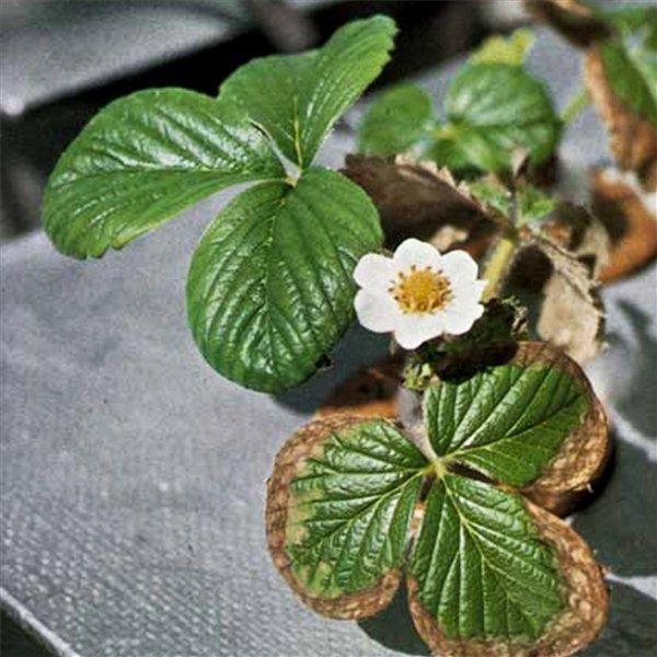 Коричневая пятнистость поражает листья клубники от краев и двигается по листу