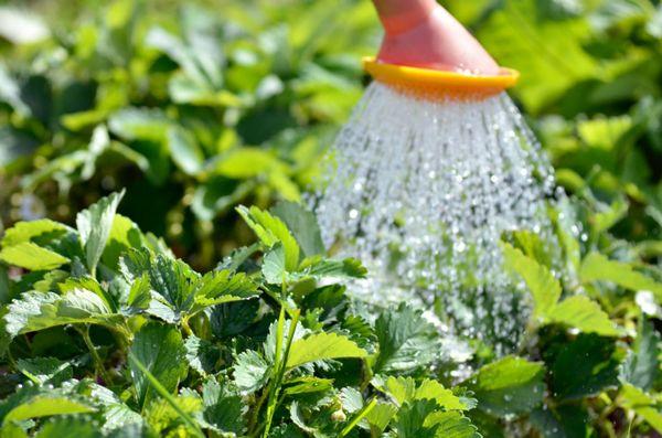 На протяжении всего вегетативного периода клубнику нужно регулярно поливать