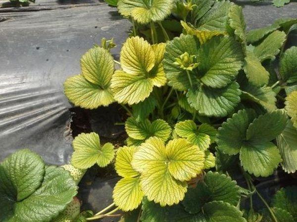 Лимонная окраска листьев клубники говорит о нехватке азота