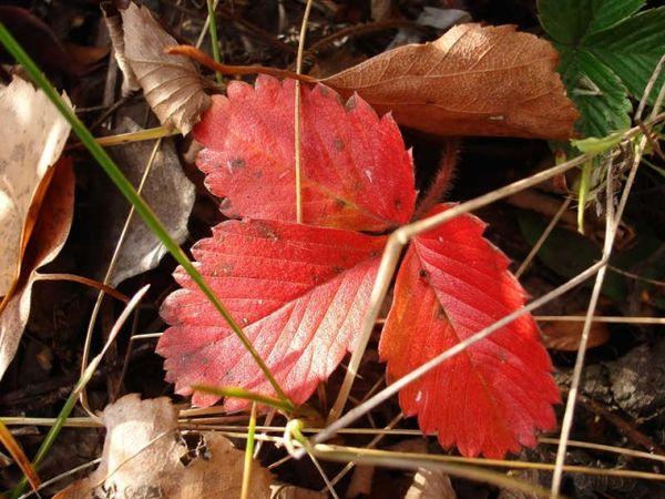 Покраснение листьев клубники осенью - это естественный процесс