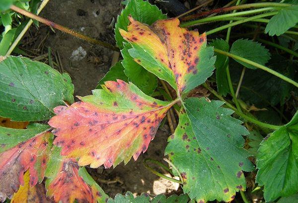 Красно-малиновые пятна могут говорить о повышенной кислотности почвы