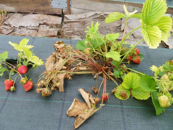 При неправильном уходе листья клубники начинают постепенно умирать
