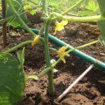 Капельный полив удобен для полива на корневую систему