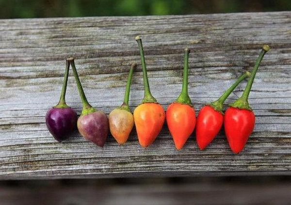 Первый урожай можно собирать через 2-3 месяца