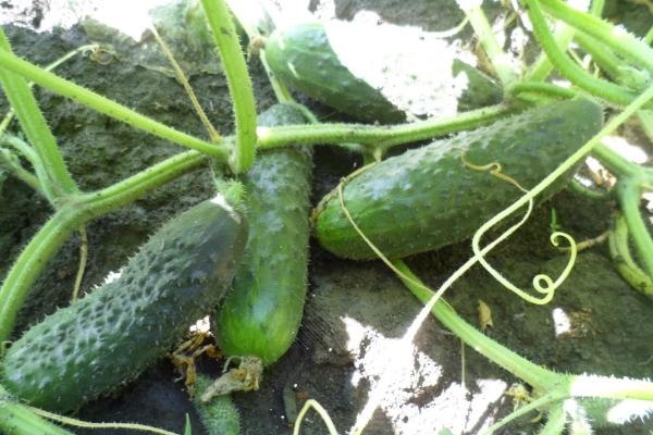 Сорт самоопыляемый, подходит для выращивания в теплице и открытом грунте