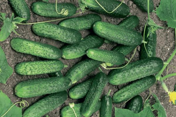 Плюсы сорта: высокоурожайность и неприхотливость в уходе, самоопыление, отличные вкусовые качества