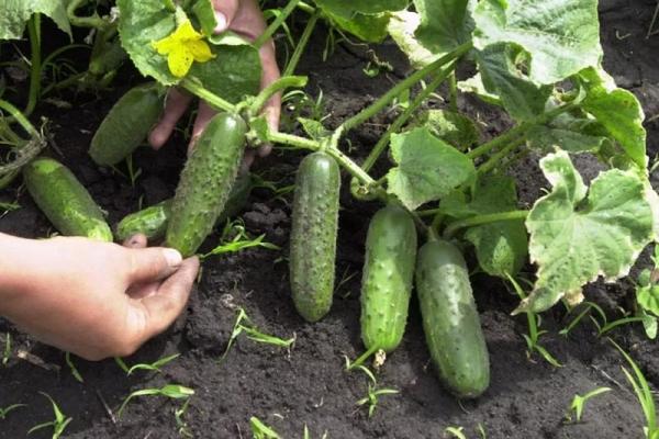 Сбор урожая необходим каждый день, или через день