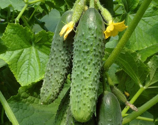 Особенность сорта - активное плодоношение без опыления