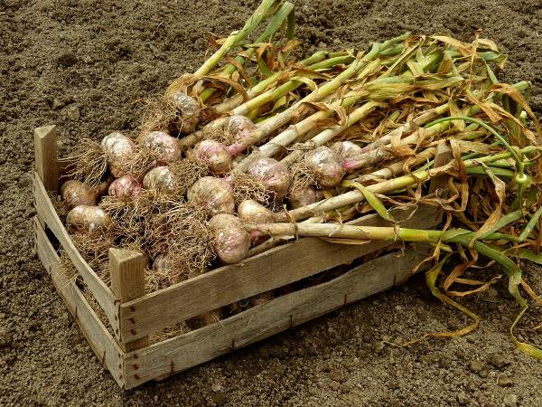 Свежесобранный урожай чеснока