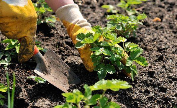 Осенняя посадка клубники позволяет собирать урожай уже на следующий год