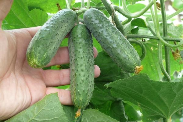Выращиваться может как в открытом грунте, так и в теплице рассадным и безрассадным способами