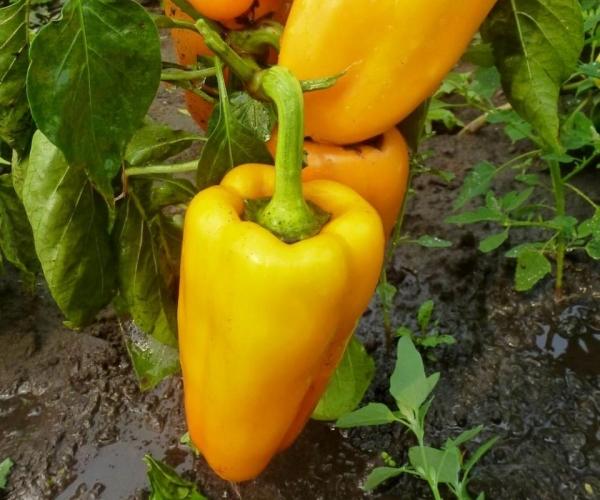 Сорт не переносит плохой погоды, потому желательно выращивать его в теплице