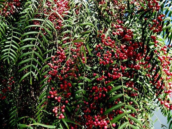 Перец черный горький горошком выращивание 91