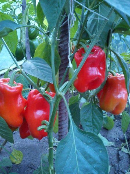 Перец Богатырь отличается высокорослыми кустами, усеянными крупными плодами