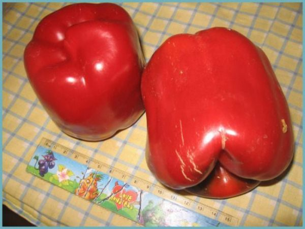 Вес одного плода перца Геракл около 300 грамм