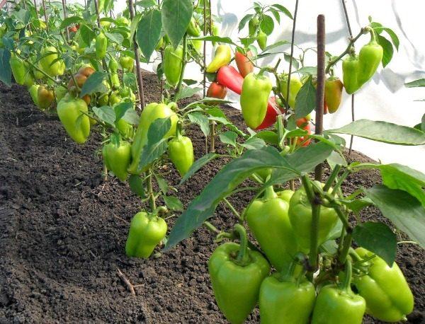 Выращивание перца в парнике