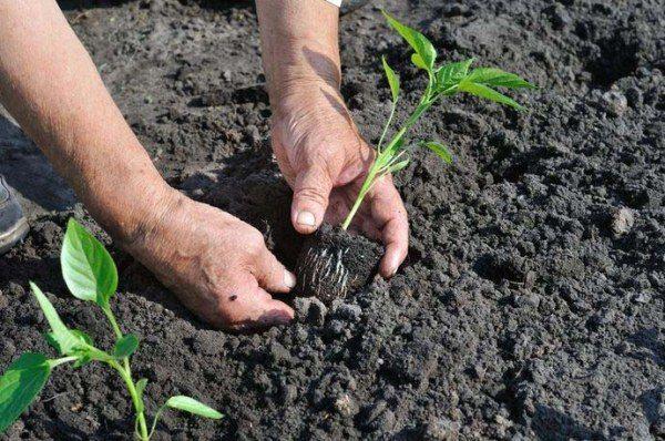 В открытый грунт рассаду перца высаживают в июне